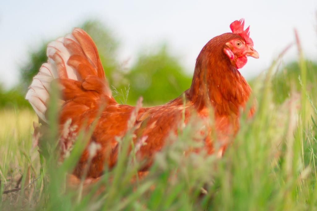Erfreut Kleine Rote Henne Färbung Seite Ideen ...